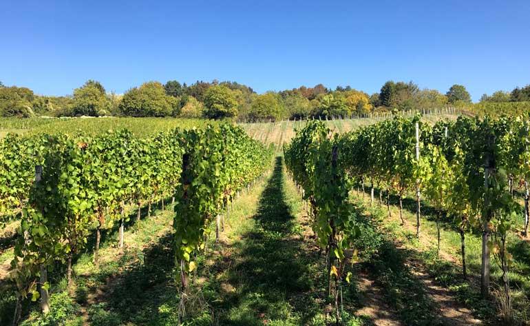 vineyards on rehberger-weg
