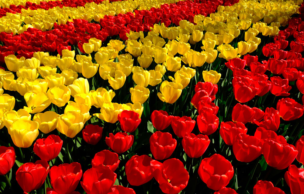 bed of red and yellow tulips at keukenhof gardens