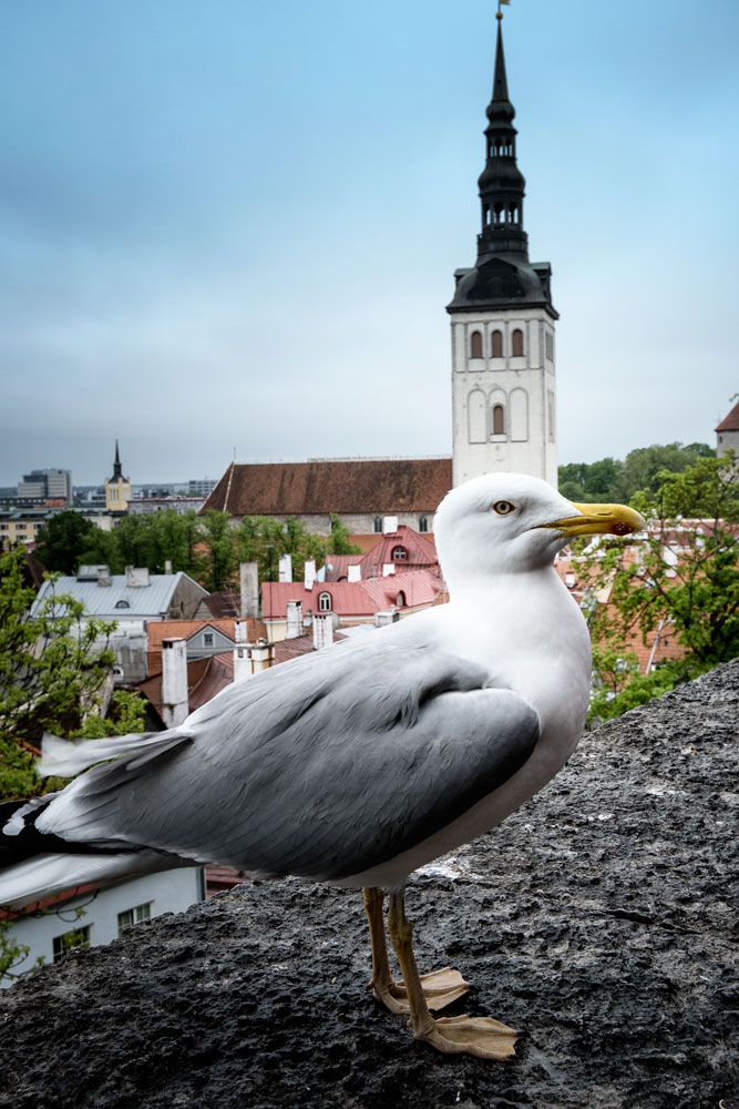 seagull perched on wall with city rooftops in background and church spire