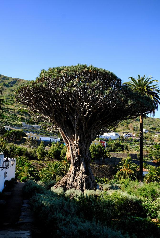 dragon tree in icod tenerife