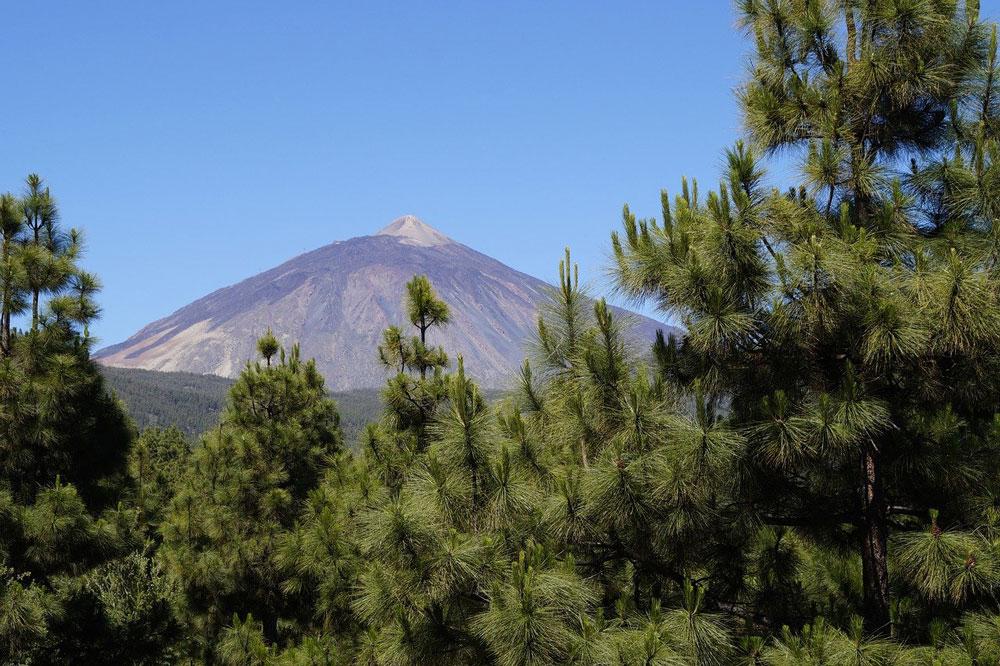 peak of mount teide tenerife through trees on a clear day