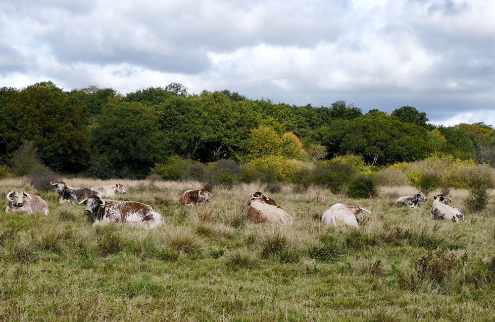 longhorn cattle in epping forest