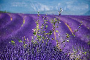 lavender-field-in-provence which is one of the locations for best movies set in france on netflix and amazon prime
