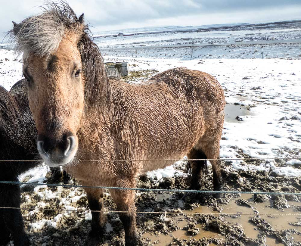 an icelandic horse close up in snow covered field
