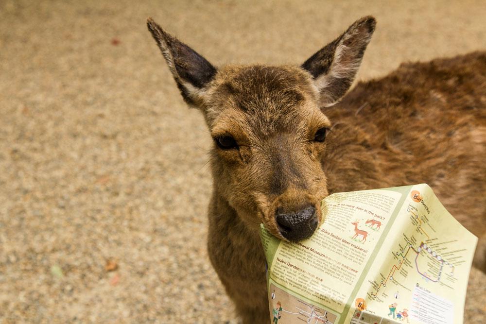 deer-holding-map-in-mouth-in-nara-japan