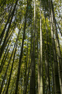 tall stalks of bamboo forest in kyoto