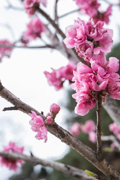 pink blossom in kyoto