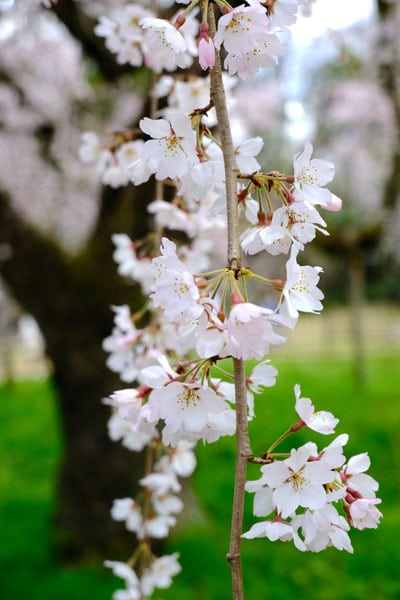 close up of white blossom in kyoto