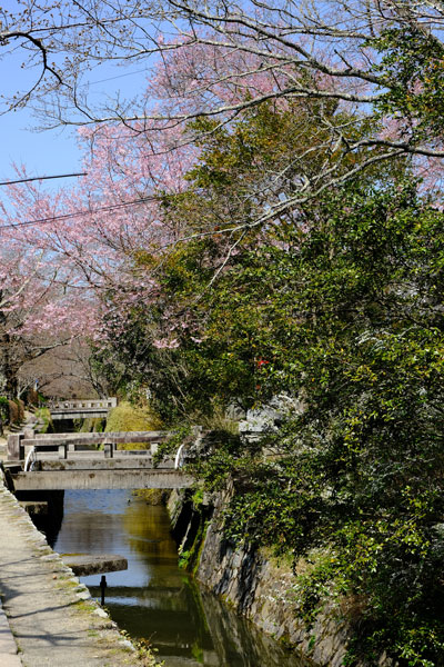 cherry blossom framing narrow canal with bridges known as philosophers path in kyoto