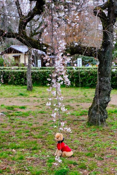 small dog in red coat under cherry blossom tree in park
