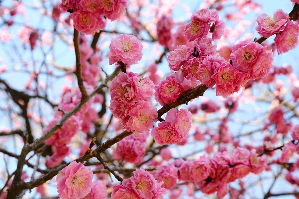 pink plum blossm