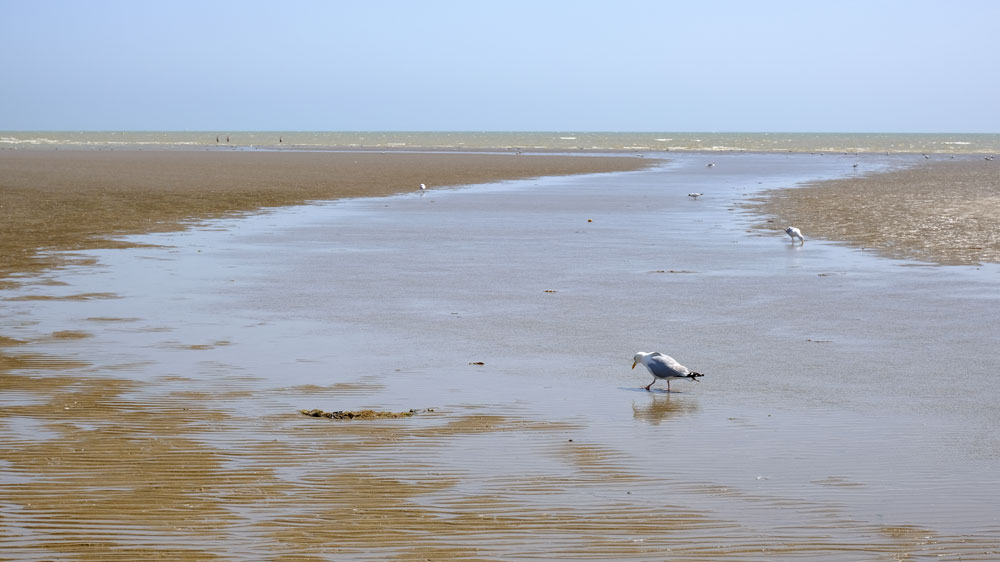seabirds in rockpools on large sandy beach at camber sands beach