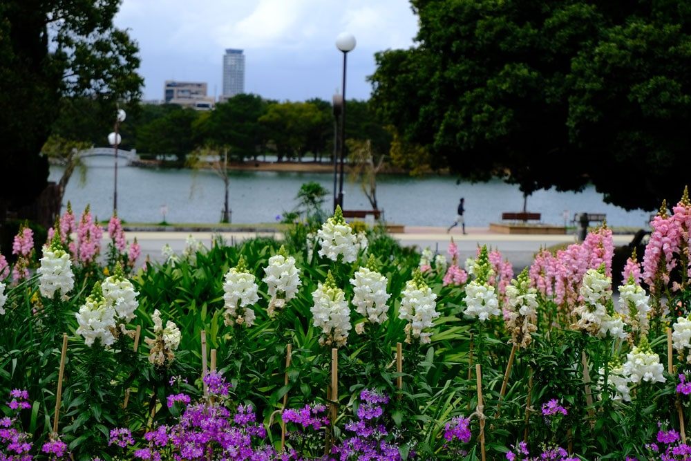 purple pink and white flowers with lake and jogger in background