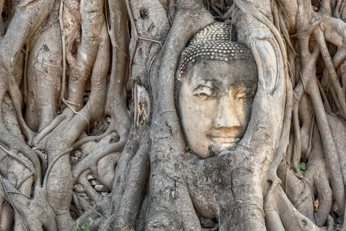 buddha head in overgrown tree roots at ayutthaya temple