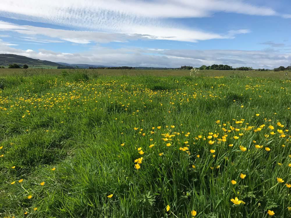 buttercups in large field