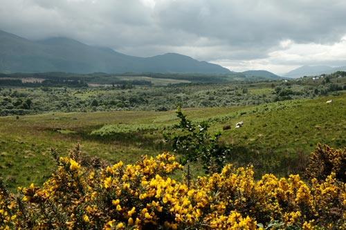 gorse in glen backed by mountain