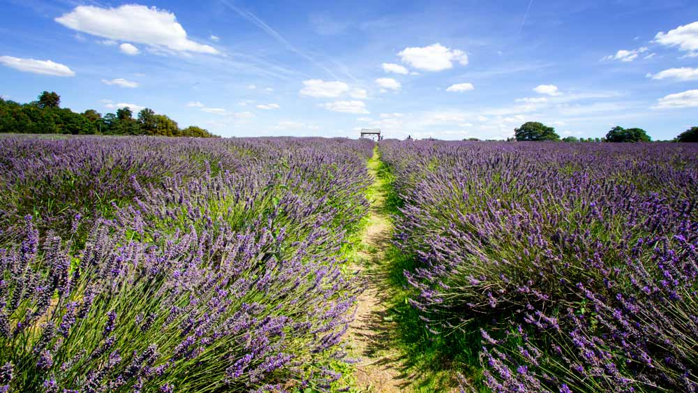 lavender field against blue sky with a few clouds