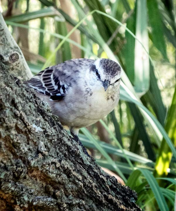 grey and white bird in tree