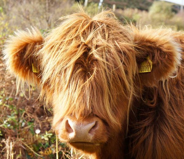 close up of brown highland cow in inverness scotland