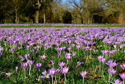 field of purple crocuses